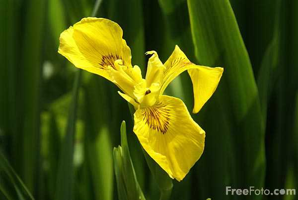 Picture of Yellow Iris - Free Pictures - FreeFoto.com