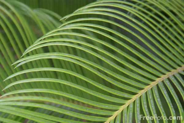 Picture of palm tree branch - Free Pictures - FreeFoto.com