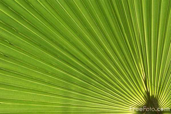Picture of Palm Tree Leaf Texture - Free Pictures - FreeFoto.com
