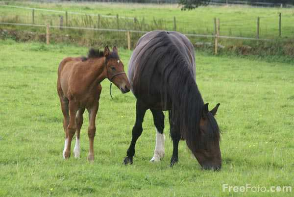 Picture of Horse and foal - Free Pictures - FreeFoto.com
