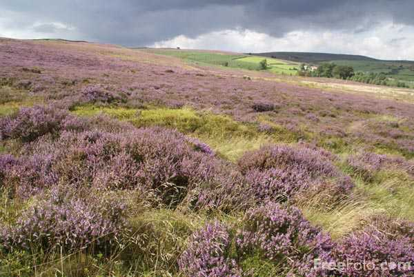 Picture of Moorland Heather on Nought Moor near Pateley Bridge - Free Pictures - FreeFoto.com