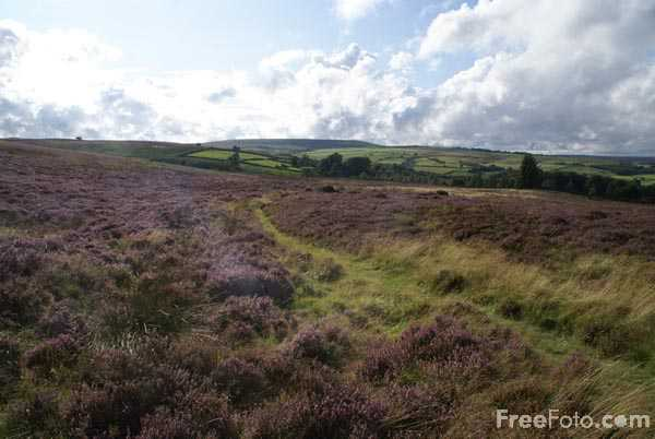 Picture of Moorland Heather on Nought Moor near Pateley Bridge. - Free Pictures - FreeFoto.com