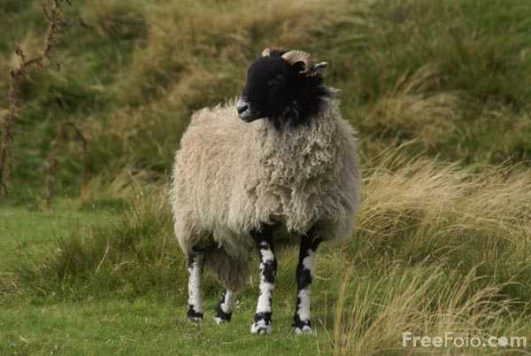 Picture of Sheep - Free Pictures - FreeFoto.com