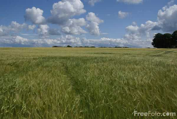 Picture of Field of barley - Free Pictures - FreeFoto.com