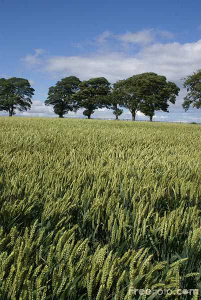Picture of Field of Wheat - Free Pictures - FreeFoto.com