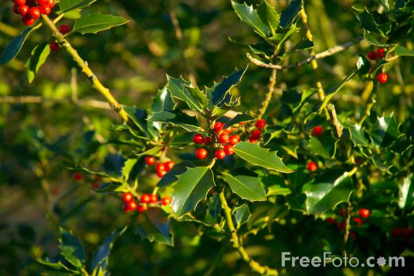 Picture of Holly Tree and Red Berries - Free Pictures - FreeFoto.com