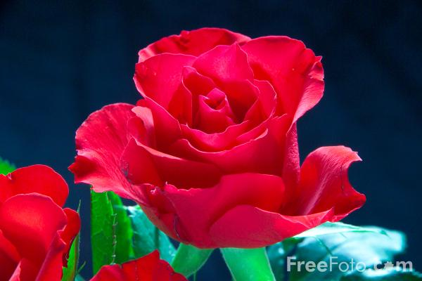Picture of A Red Rose - Free Pictures - FreeFoto.com