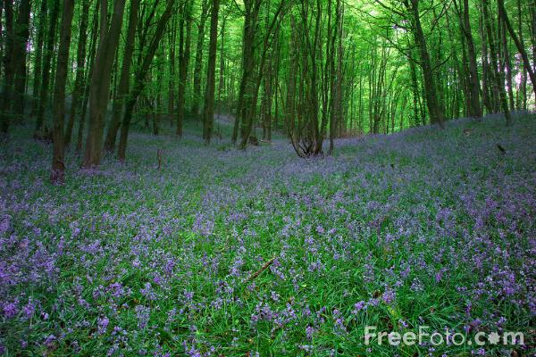 Picture of ancient bluebell wood - Free Pictures - FreeFoto.com