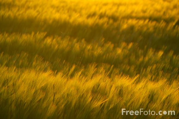 Picture of Barley Field at Sunset - Free Pictures - FreeFoto.com