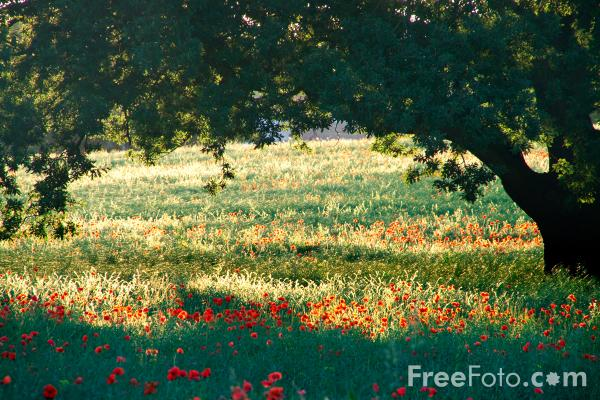 Picture of Poppy Field - Free Pictures - FreeFoto.com