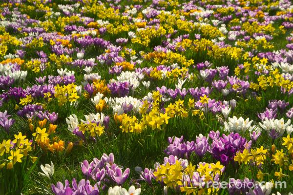 Picture of Crocuses, Princess Street Gardens, Edinburgh. - Free Pictures - FreeFoto.com