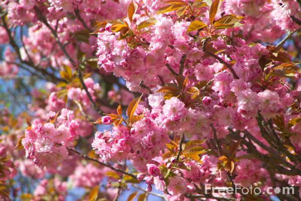 Picture of Pink blossom, Saltwell Park, Gateshead - Free Pictures - FreeFoto.com