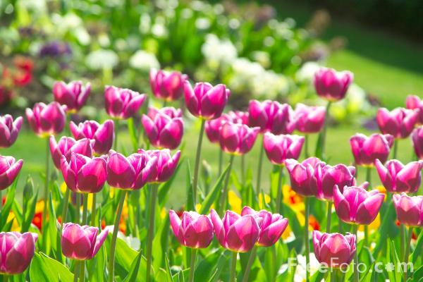Picture of Tulips, Saltwell Park, Gateshead - Free Pictures - FreeFoto.com