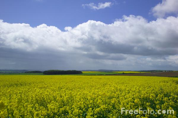 Picture of Field of yellow oilseed rape - Free Pictures - FreeFoto.com