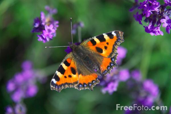 Picture of Tortoiseshell Butterfly - Free Pictures - FreeFoto.com