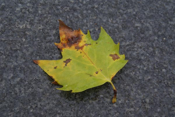 Picture of Fall Leaf - Free Pictures - FreeFoto.com