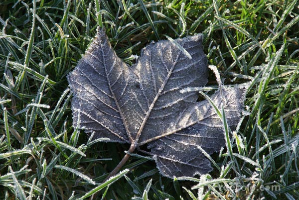 Picture of Leaf covered in frost - Free Pictures - FreeFoto.com