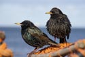 Image Ref: 9907-03-3 - Starlings, Viewed 5394 times