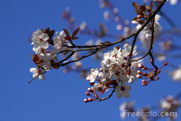 Picture of Spring Blossom - Free Pictures - FreeFoto.com