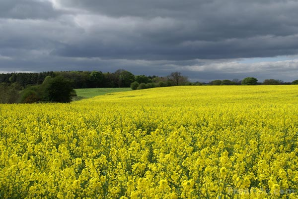 Picture of Oil Seed Rape and dark clouds - Free Pictures - FreeFoto.com