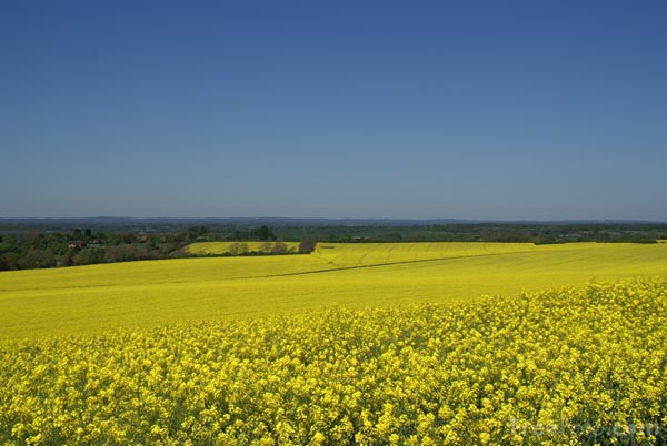 Picture of Oil Seed Rape - Free Pictures - FreeFoto.com