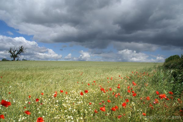 Picture of Wheat and Poppies - Free Pictures - FreeFoto.com