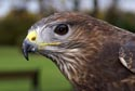 Common Buzzard has been viewed 7496 times