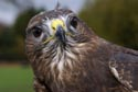 Image Ref: 9907-11-8 - Common Buzzard, Viewed 6057 times