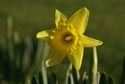 Image Ref: 9908-01-15 - Daffodil, Viewed 9812 times