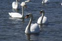 Image Ref: 9908-04-7 - Swan, Viewed 6458 times