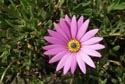 Pink Daisy with Yellow Center has been viewed 8226 times