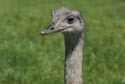 Image Ref: 9908-06-14 - Ostrich, Viewed 5630 times