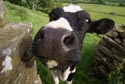 Image Ref: 9908-06-19 - Cow, Viewed 5434 times