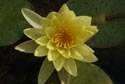 Image Ref: 9908-07-2421 - Yellow Water Lily, Jardin Maria Serena, Menton, Viewed 5483 times