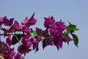 Image Ref: 9908-07-563 - Bougainvillea, Viewed 4692 times