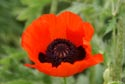 Image Ref: 9908-07-9350 - Red Poppy, Viewed 6530 times