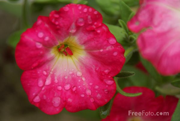 Picture of Flower and raindrops - Free Pictures - FreeFoto.com