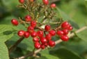 Image Ref: 9908-08-3003 - Red Berries, Viewed 7392 times