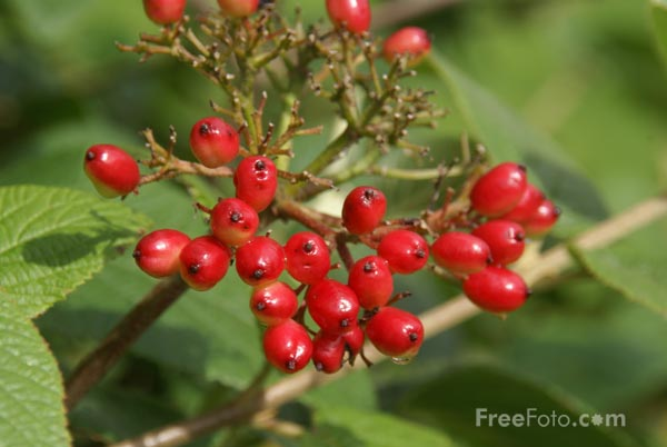 Picture of Red Berries - Free Pictures - FreeFoto.com