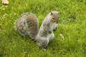 Image Ref: 9908-11-7720 - Grey Squirrel, Viewed 10091 times