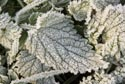 Image Ref: 9908-11-8026 - Frosty leaf, Viewed 4683 times