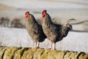 Image Ref: 9909-01-8699 - Two Chickens, Viewed 18242 times