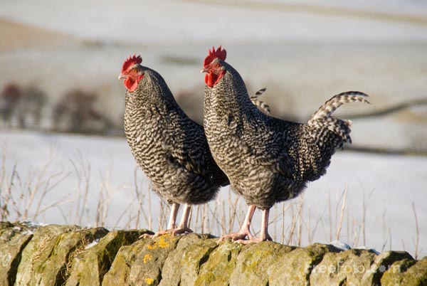 Picture of Two Chickens - Free Pictures - FreeFoto.com