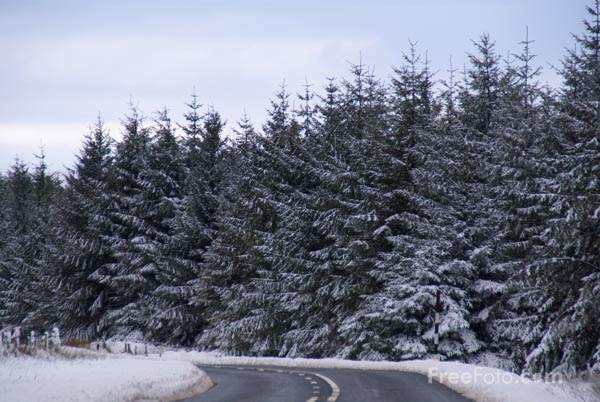 Picture of Pine trees in Winter - Free Pictures - FreeFoto.com