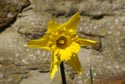 Image Ref: 9909-03-369 - Daffodil, Viewed 4890 times