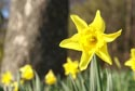 Image Ref: 9909-03-807 - Daffodil, Viewed 4757 times