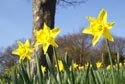 Image Ref: 9909-03-814 - Daffodil, Viewed 4675 times