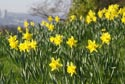 Image Ref: 9909-03-826 - Daffodil, Viewed 4623 times
