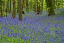 Bluebells in the woods has been viewed 7591 times