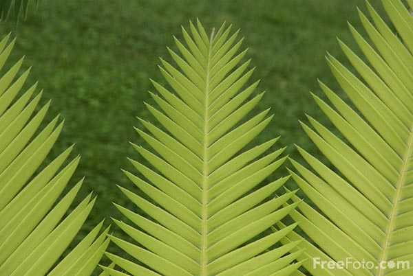 Picture of Palm tree leaves - Free Pictures - FreeFoto.com
